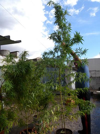 Miggiano e depressa piante di marijuana alte 2 metri in for Piante da giardino alte 2 metri
