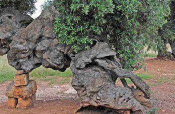 xylella-fastidiosa-strage-ulivi-olivo